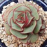 원종롱기시마|Echeveria longissima