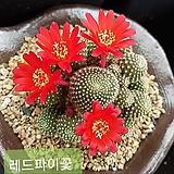30 꽃사진첨부 레드파이 실생 |