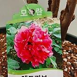 신품종/목단/레드커브 모란/동일품배송 |Echeveria cv Beniothine