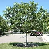 회화나무 실생1년 10주묶음 - 조경수 
