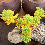 을녀심1-681|sedum pachyphyllum