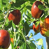 대추나무 왕대추 접목1년 h60cm h1m - 유실수 