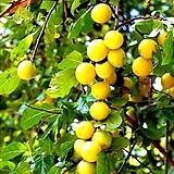 황칼슘나무 홍칼슘 흑칼슘 3종 접목1년 - 유실수 
