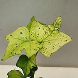 백설공주 아이비/동일품배송 |sedum spathulifolium