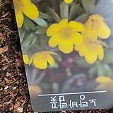 바람꽃/노랑|