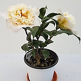 호주황2번(30cm/사진배송)|