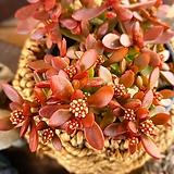 라디칸스1-693|Crassula pubescens Radicans