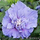 무궁화나무,겹꽃무궁화(블루치폰)1~2지,목하원예조경 