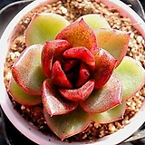 흑장미교배종|Echeveria Black Rose