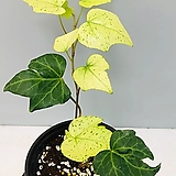 백설공주아이비 (동일품배송 ) sedum spathulifolium