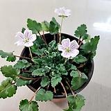 풍로초(흰꽃)|