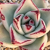 연꽃마리아|Echeveria agavoides Maria