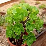 수형좋은 에오니움 그린로즈(올리브)|Aeonium canariense