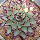 블랙슈퍼클론42-0119|Echeveria Superclone