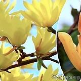 목련나무(선스파이어),접목2년특묘,목하원예조경 