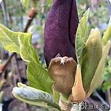 목련나무(블랙뷰티),접목2년특묘,목하원예조경 