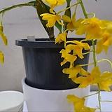 덴드로비움.아마빌레.예쁜노랑색꽃.석곡.은은한 향기.인기상품.고급종.|Echeveria Amabile