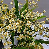 환타지아.잎복륜.다시입고.잎복륜(황금무늬).(쵸코렛향).아이보리색.인기상품.|Echeveria Fantasia Clair