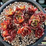 양진 한몸군생 묵은둥이|Echeveria yangjin