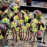 박화장 대품|Sedum palmeri