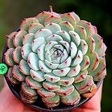 핑크로 물드는 화이트미니마|Echeveria White Minima