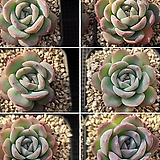 수련 랜덤|Echeveria Suryeon