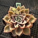 카이노스변이금89|variegated