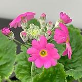 마라고이데스/3단앵초 분홍