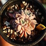 핑크스팟 280121|Echeveria Pink spot