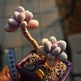 아메치스 190121|Graptopetalum amethystinum