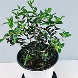 올리브나무 1(동일품배송 ) 