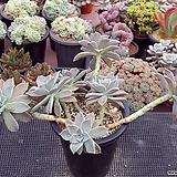용월|Graptopetalum paraguayense