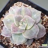 퍼플딜라이트금|Graptopetalum Purple Delight