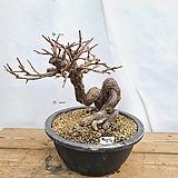 앵두나무|
