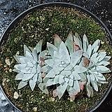 화이트그리니121 Dudleya White greenii