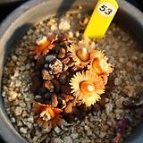 당선 530121|Aloinopsis schooneesii