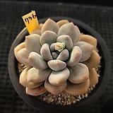후레뉴736|Pachyphytum cv Frevel