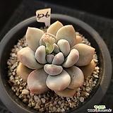 후레뉴526|Pachyphytum cv Frevel
