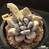 후레뉴245|Pachyphytum cv Frevel