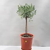 마리노라벤더외목대(5번/55cm)|