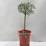 마리노라벤더외목대(6번/55cm)|