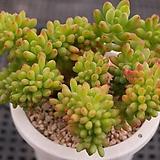 팔천대철화 1-1275|Sedum corynephyllum