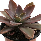 흑괴리|Graptoveria Fred Ives