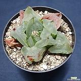 피그마에아뮤턴트|Haworthia pygmaea