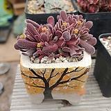 퓨베센스 분포함|Crassula pubescens