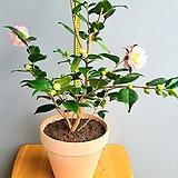 향이좋은 핑크색 서향동백, 전체높이 90cm전후|