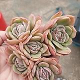 라즈아가 자연|Echeveria agavoides sp