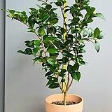 수형이 멋진 동백꽃나무, 전체높이 100cm전후|