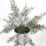 왁스 플라워 |Echeveria agavoides Wax
