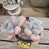 달마미인묵은쌍두|Pachyphytum oviferum